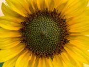 Sunflower Picking in the DMV
