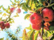 Late Summer Outdoor Fun: Apple Picking!