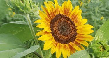 Summer of Sunflowers @ Burnside Farms